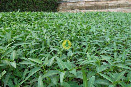 Kỹ thuật trồng Rau muống hiệu quả
