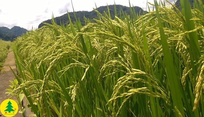 Lúa Hương Xuân