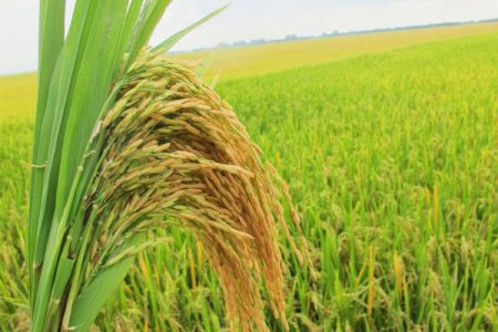 Hội nghị đầu bờ Giống Lúa Hương Xuân