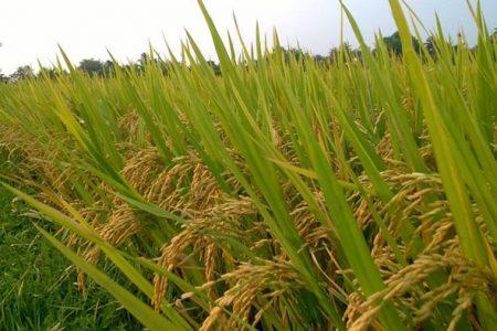 Đánh giá bước đầu Lúa Hương Xuân