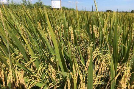 Điểm trình diễn giống lúa PY2 tại Bình Đình