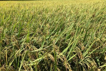 Thăm ruộng lúa ML 232 ở Phổ Văn, Quảng Ngãi